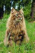 Chat Européen adulte à poil long assis dans l'herbe