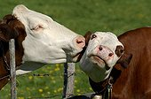 Tenderness between two cows on both sides of a fence