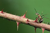 Southern wood ant moving on stem with spines France