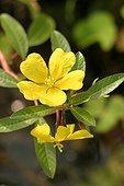 Floating primrose-willow flower France