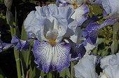 "Iris ""Spinning Wheel"" in May Garden of the Crystalline one"