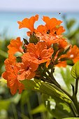 Orange flowers of a tropical plant Mexico ; Caribbean Sea coast.
