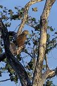 Coucal faisan perché Territoires du Nord Australie