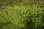 Mustard and Notchleaf in a kitchen garden