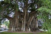 Fossile vivant de Cyprès de Montézuma à Tule Mexique ; Un arbre gigantesque près d'Oaxaca. Vieux d'au moins 2000 ans, son diamètre dépasse les<br>14 mètres, sa circonférence est de 58 mètres, son volume de 816.829 m3, sa masse de 636.107 tonnes et sa hauteur de 42 mètres. Son tronc fait apparaître des formes animales telle que le lion, le mamouth, le serpent...