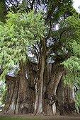 Fossile vivant de Cyprès de Tule Mexique ; Un arbre gigantesque près d'Oaxaca. Vieux d'au moins 2000 ans, son diamètre dépasse les<br>14 mètres, sa circonférence est de 58 mètres, son volume de 816.829 m3, sa masse de 636.107 tonnes et sa hauteur de 42 mètres. Son tronc fait apparaître des formes animales telle que le lion, le mamouth, le serpent...