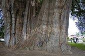 Tronc d'un fossile vivant de Cyprès de Tule Mexique ; Un arbre gigantesque près d'Oaxaca. Vieux d'au moins 2000 ans, son diamètre dépasse les<br>14 mètres, sa circonférence est de 58 mètres, son volume de 816.829 m3, sa masse de 636.107 tonnes et sa hauteur de 42 mètres. Son tronc fait apparaître des formes animales telle que le lion, le mamouth, le serpent...