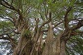 Feuillage d'un fossile vivant de Cyprès de Tule Mexique ; Un arbre gigantesque près d'Oaxaca. Vieux d'au moins 2000 ans, son diamètre dépasse les<br>14 mètres, sa circonférence est de 58 mètres, son volume de 816.829 m3, sa masse de 636.107 tonnes et sa hauteur de 42 mètres. Son tronc fait apparaître des formes animales telle que le lion, le mamouth, le serpent...