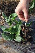 Eclaircissement d'un plant de potiron dans un jardin potager
