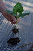 Plantation d'un plant de potiron dans un jardin potager