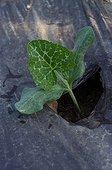 Plant de potiron dans un jardin potager