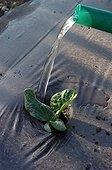 Arrosage d'un plant de potiron dans un jardin potager