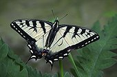 Eastern Tiger Swallowtail Butterfly on a plant Pennsylvania
