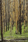 Conifers trunks brazed by a nature fire Canada