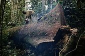 Logger cuting up an Okoume after clearing up Gabon ; In the Forêt des Abeilles.