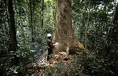 Logger cuting up an Okoume in the Forêt des Abeilles Gabon