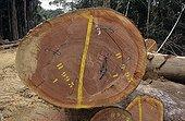 Okoume unbarked log marqued in the Forêt des Abeilles Gabon