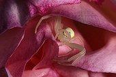Crap spider stalking on a rose flower