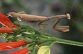 Mediterranean Mantis on flower Europe