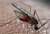 European mosquito with paludism prickly Spain