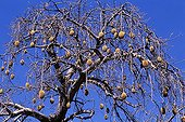 Breadfruit tree with the branches charged with fruits Africa