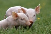 Two piglets on the grass France