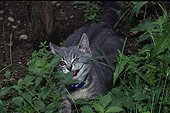Aggressive behavior of a Cat hidden in grass