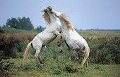 Camarguais horse fighting France