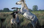 Camarguais horse attacking congeneric France