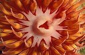 Gros plan de la bouche d'une Anémone de mer USA