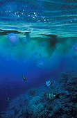Gathering of Aurelia Jellyfish to the top of a reef Egypt