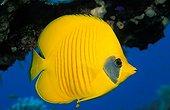 Bluecheeck butterflyfish swimming Egypt