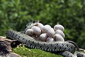 Grass snake protecting it eggs Alsace France