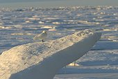 Ivory Gull on the Ice-floe Spitsbergen Arctic