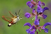 Moth gathering nectar from Sage flower Chancy Switzerland