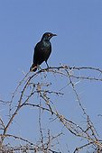 Greater Blue-eared on the northern of Namibia