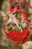 Yorkshire-terrier suspended in a small bag
