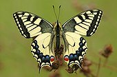 Swallowtail butterfly Small valley of Swiss Laire Chancy