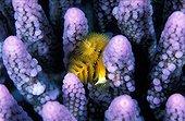 Intenses couleurs du Corail acropora Egypte