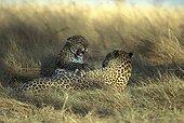 Female Leopard and its young playing Masai MaraKenya