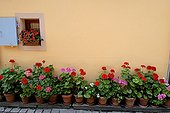 Line of geraniums in bloom in front of a house in Eguisheim
