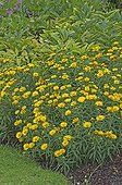 Massif of Swordleaf Inula in bloom in summer