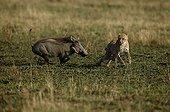 Guépard âgé de 14 mois face à un Phacochère Masaï Mara Kenya