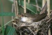 Eurasian Reed Warbler at nest France