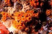 Colony of orange colonial Madreporaria Mediterranean Sea