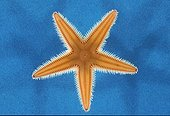 Starfish in the MediterraneanSea ; Higher morphology shows the spines of starfish on the arms. Frequent Echinodermata in the Mediterranean Sea. Height : approximately 30 cm.