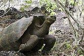 Tortue Géante des Galapagos Iles des Galapagos ; Sa position a une forme intermédiaire entre un dôme et une selle de cheval. Ile de San Cristobal, La Loberia.