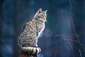 Sitting Wildcat Europe