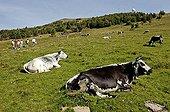 Cows Vosgiennes grazes Grand Ballon the Vosges France
