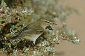 Willow warbler perched Lagoon of Naïla Western Sahara